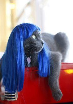 Blue wigged cat, rocking a modern hair cut
