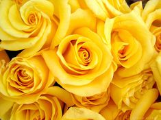 #yellow #roses / #flowers