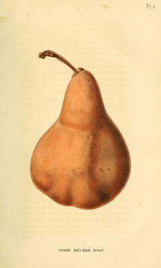 French fruit illustration, Bosc Pear, 1832