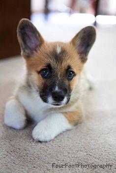 Adorable corgi pup