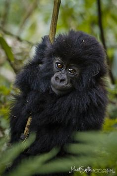 Baby gorilla - Just chillin'
