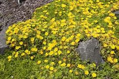 Hardy Yellow Ice Plant - Delosperma nubigenum