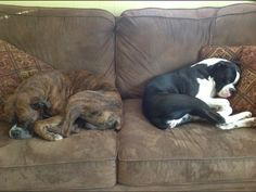 Boone and Dixie doing what Boxers do best!