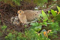 Bird Nesting 101: Guide to Late Nesters. (Mourning doves extend their nesting season well into early fall!) birdsandblooms.com