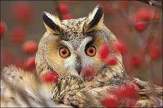 Amazed Owl