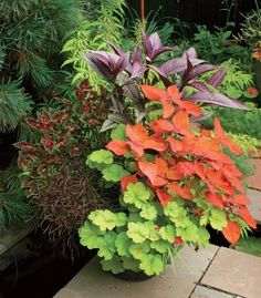 orang, potted plants, color combos, colors, outdoor, container plants, limes, persian shield, container gardening