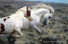 Wild Horses-Helena MT