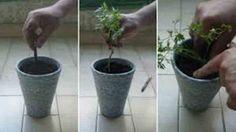 Como plantar salsa em casa