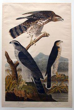 Goshawk, Stanley Hawk (No. 29), John James Audubon, 1829