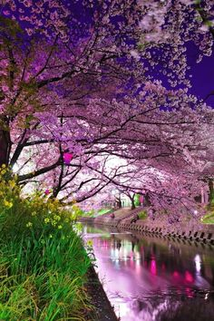 Cherry Blossom River, Sakura, Japan  photo via annette