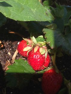 Our strawberries planted with the trees are growing fast and almost ready for the table.