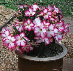 rocío bonsai, garden lane, desert bonsai, desertoadeniun obesum, rose desert, adenium bonsai