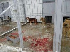 """We've heard about the strays from Sochi … what about the Romanian strays? A photo the day after hundreds of dogs at Craiova shelter were """"euthanized"""""""