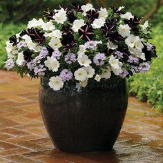 dust combin, petunia, front doors, color combinations, pixi dust, combin annual, annual plant, container gardening, garden pots