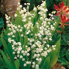 """Lily of the Valley    height 6-8""""  spread 12-18""""    Deer Resistant, Fragrant, Cut Flowers, Borders, Groundcover, Multiplies / Naturalizes"""