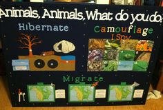 2nd grade - Migration, Camouflage, Hibernation Interactive Bulletin Board  Migration section - kids draw arrows on laminated maps for migration patterns  Hibernation section - kids match animals to where they hibernate  Camouflage - I SPY! Look for the hidden animals