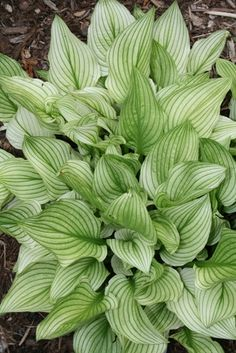 "Hosta Zebra Stripes 8""h, 28""w, part sun, light shade, I purchased 1 of these"