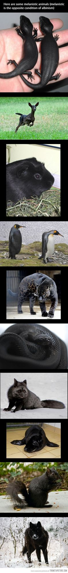 Wild!  I had never heard of melanistic animals, which is the opposite of albinism.  Neato :)