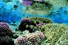 This photo released by U.S. Fish and Wildlife Service shows pink corals on the Palmyra Atoll in the Pacific. Parts of three remote and uninh...