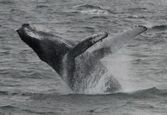 whale off of Cape Ann, MA