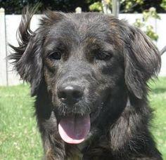 Henza est une chienne super sympa, très affectueuse ; elle adore s'amuser, s'entend bien avec ses copains et adore se baigner !!!!!! REFUGE SPA DES DEUX RIVES - GOLFECH(Tarn-et-Garonne)