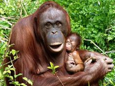 A female baby orangutan born at Paignton Zoo last year with her mother