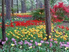 Tulip time at Garvan Gardens, Hot Springs, AR