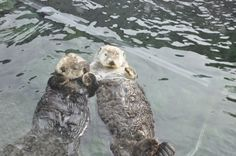 the hand-holding otters are at it again