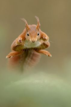 Now that's a flying squirrel!  Awesome Flying Red Squirrel in The Netherlands