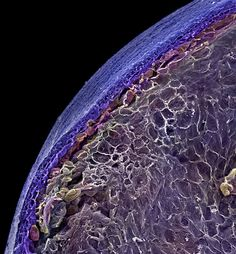A coloured scanning electron micrograph of a blueberry