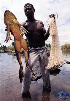 From the Rain Forest of Western Africa-Goliath Frog