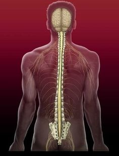 Regrowing Nerve Tissue - Nerves are enclosed, cable-like bundles that contain many axons. They make up the critical central and peripheral nervous systems, conducting electrical signals to the brain (like sensitivity) and to the outer limbs (like movement).