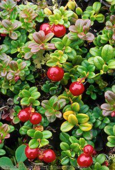 Cranberries, Denali National Park, Alaska
