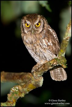 Tropical Screech Owl (Megascops choliba). Photo by Glenn Bartley.