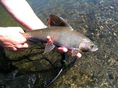 Artic Grayling by Davidson River Outfitters on the Destination Montana Trip 2012 #fishing