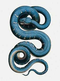 Snake illustration by Albertus Seba. Tab 81, from Thesaurus Vol 2, 18th century.