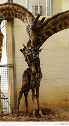 Sweet giraffe photo