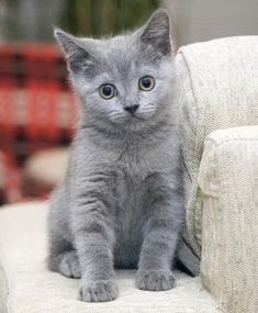 Russian Blue Cat--this is the kind of cat I want!!