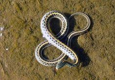 Snake Ampersand.