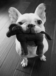 cutest puppies french bulldog, anim, french bulldogs, toy, pet, frenchi, play, ador, friend