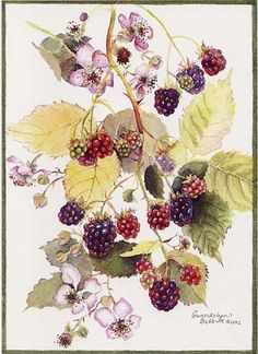 Purple blackberries