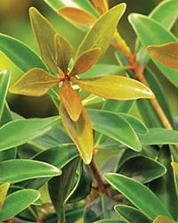 Bronze Beauty™ Cleyera. Evergreen Shrub USDA Zones 7,8,9,10, Hardy to 0 F. Heat tolerant. Use as hedge, privacy planting. Full-sun to Part-shade. 8-10' H x 5-6' W. Moderate to fast growth. Regular water, Well-drained garden soil. Fertilize in Early spring. Shape as needed. 2014