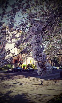 Cherry blossoms along 14th Street, Adams Morgan