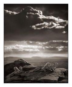 Cheetah & Cubs Lying on Rock, Serengeti 2007, Nick Brandt