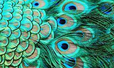 i <3 peacock