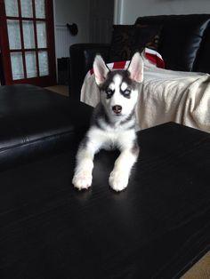 So cute.  Siberian Husky puppy.