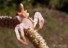 Aranha-flor (Flower spider)    Family Thomisidae, Tobias sp.