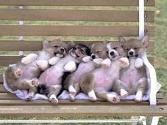 nap time, funny animals, welsh corgi, animal pictures, little puppies, park benches, corgi puppies, dog, baby puppies