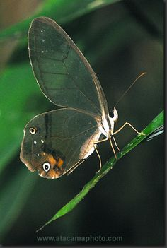Glasswing Butterfly - Madidi National Park, Bolivia