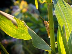 Texas farmer thwarts grasshoppers with magical nontoxic substance
